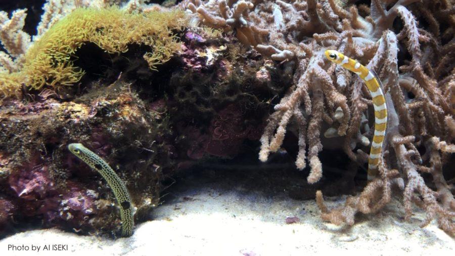 水族館のチンアナゴ・ニシキアナゴ